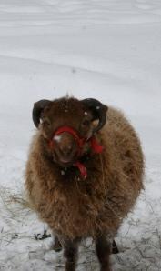 Yogi, the Shetland wether