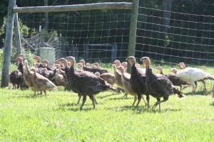 3 Month Old Broadbreasted Bronze Turkeys