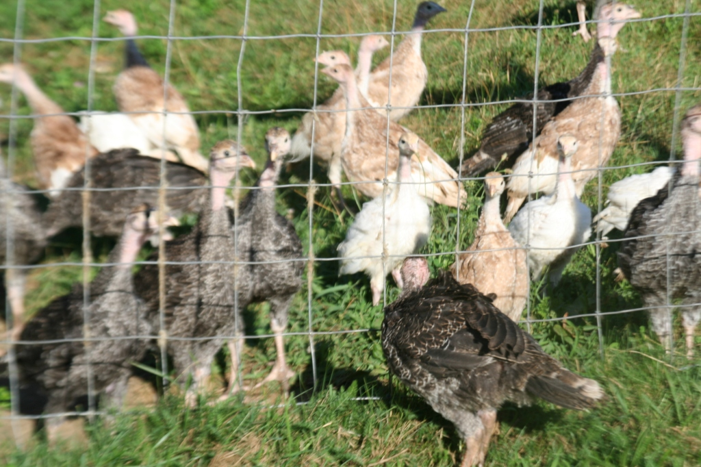 Turkey poults old enough to be out in the pasture