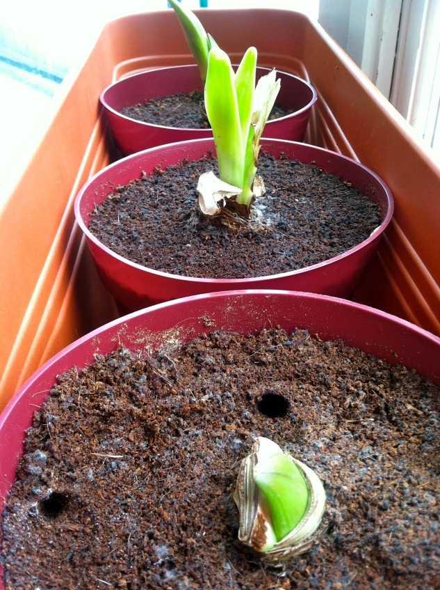 "Hippeastrum, commonly known as ""Amaryllis"", which my neighbor gave to me at Christmastime, indoor blooms will likely fill my windows in February!"