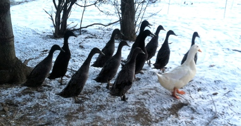 Cold Ducks - thrilled with the extra hay I gave them this morning