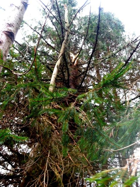 Freshly topped - poor big old conifer!