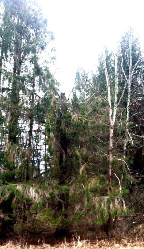 The tree in the middle is the one that snapped while I was working.  It had been as tall as the tree to it's left.
