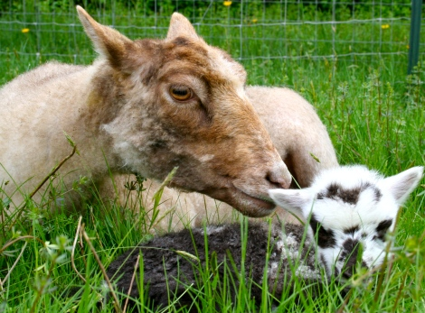 Lily & Gandalf, when he was a lamb.