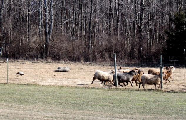 Sassy Skunk exercising the sheep