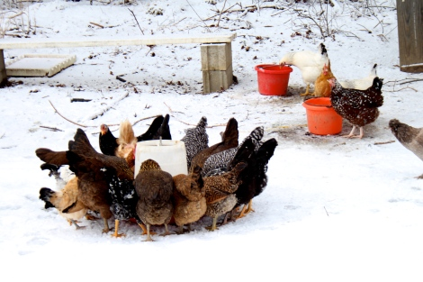 Hard working hens having a nibble of grain on a winter's day.  They are free to forage as well, though winter foraging is a bit slimmer than the rest of the year.