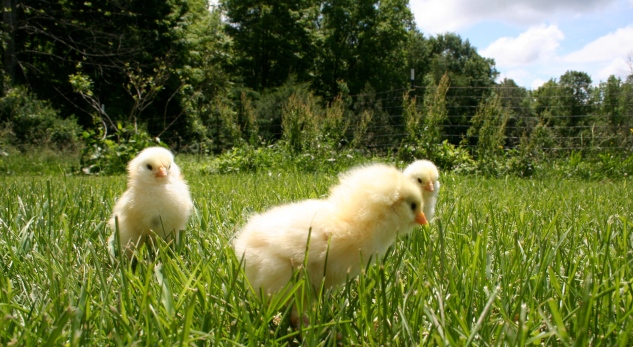 Our Faverolle Flock, last summer at 2 days old