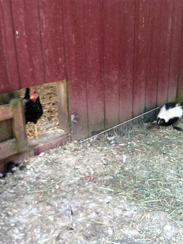 Sassy Skunk in the chicken yard